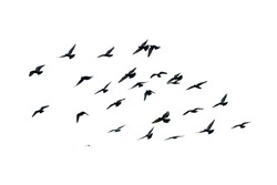 White flock of birds flying