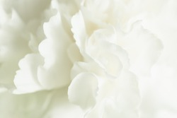 White Floral Background, Sympathy Card, White Carnation Wedding Background, Floral Macro Closeup