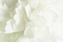 White Flower Background, Sympathy Card, White Carnation Wedding Background, Floral Macro Closeup