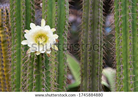 White flower cactus. Cactus Echinopsis. Daylight, outdoor, close up. Botanic garden. Big Cactus Flower. Arizona cactus garden. Cover for notebook, book, album.