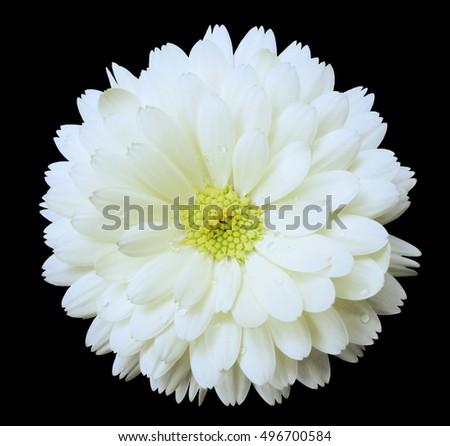 White flower calendula the black isolated background with clipping white flower calendula the black isolated background with clipping path nature closeup no mightylinksfo