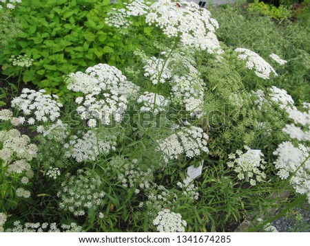 white flower clusters #1341674285