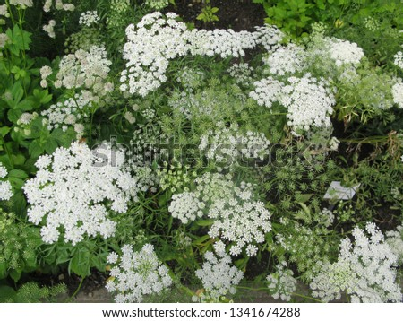 white flower clusters #1341674288