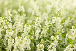 White flower field. Floral spring blur background.
