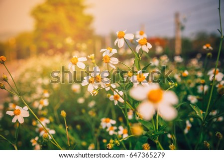 Stock Photo White Flower Field, Flower Field With Warm light