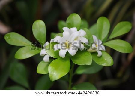 White flower fragrance in garden ez canvas white flower fragrance in garden mightylinksfo