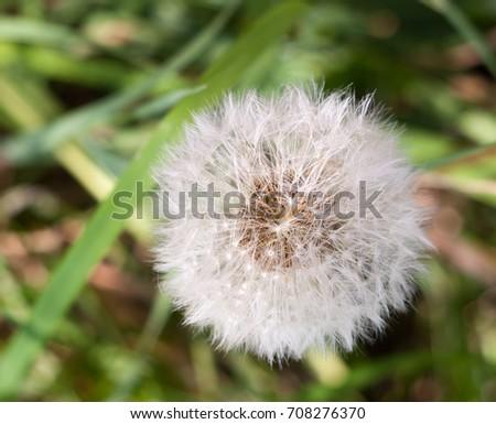 white flower head seeds full of dandelion Taraxacum officinale; Essex; England; UK #708276370