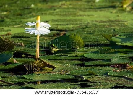 White flower in a swamp. Flower among mugs #756455557