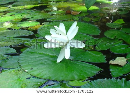 white flower in the pond