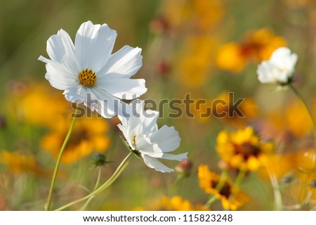 White flower in yellow field