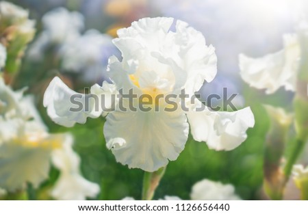 White flower Iris flowering against a background of flowers. Nature. #1126656440