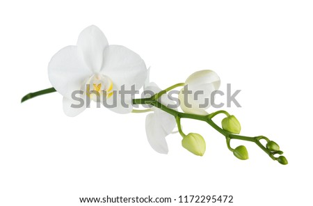 White flower of a phalaenopsis orchid with several buds on a branch, isolated on a white background