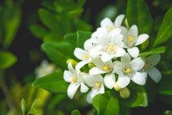 White flower of Andaman satinwood, Chanese box tree, Cosmetic bark tree, Orange jasmine, Orange jessamine, Satin wood (Murraya paniculata Jack) in the flower garden