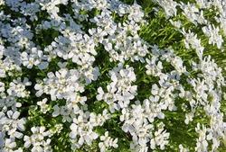 White flower of iberis sempervirens shrub.