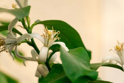 White flower of lemon or lime fruit growing in the garden, fresh and beautiful.
