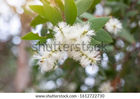 White flower of Melaleuca cajuputi Powell, Cajuput tree, paper bark tree or swamp tea tree with sunlight on blur nature background.