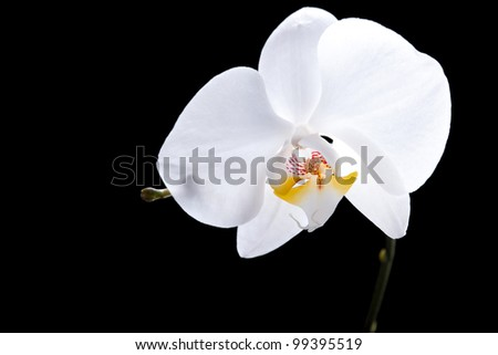White flower of orchid on isolated black background