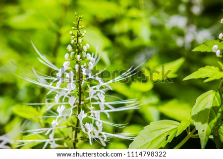 White flower of Orthosiphon aristatus with green leaves background.Orthosiphon aristatus is a medicinal herb known as cat's whiskers or Java tea. - Shutterstock ID 1114798322