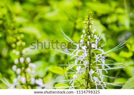 White flower of Orthosiphon aristatus with green leaves background.Orthosiphon aristatus is a medicinal herb known as cat's whiskers or Java tea. - Shutterstock ID 1114798325