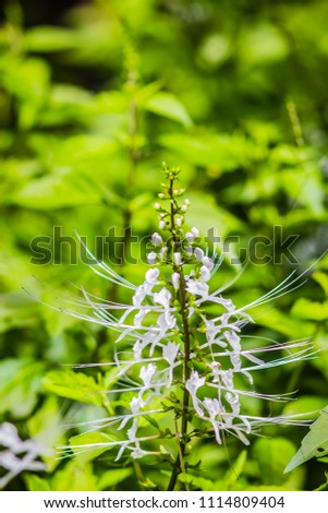 White flower of Orthosiphon aristatus with green leaves background.Orthosiphon aristatus is a medicinal herb known as cat's whiskers or Java tea. - Shutterstock ID 1114809404