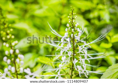 White flower of Orthosiphon aristatus with green leaves background.Orthosiphon aristatus is a medicinal herb known as cat's whiskers or Java tea. - Shutterstock ID 1114809407