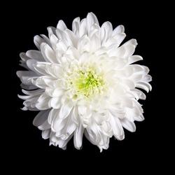 White flower on a black background Chrysanthemum