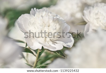 White flower on background white flowers.                    #1139225432
