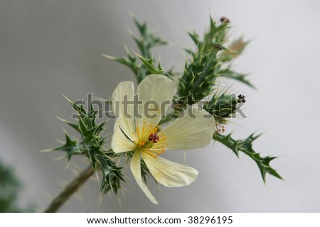 Thorny Weeds http://www.shutterstock.com/pic-38296195/stock-photo-white-flower-on-very-thorny-green-weed-with-white-background.html