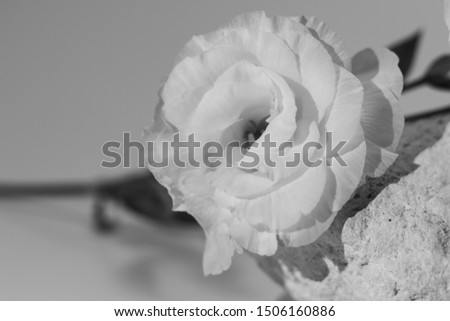 White flower on white rock and white background. black and white, expression of deep emotions
