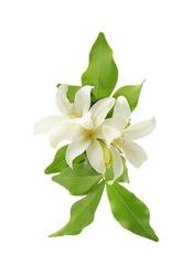 white flower orange jessamine