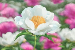 White Flower peony flowering on background pink and white flowers.