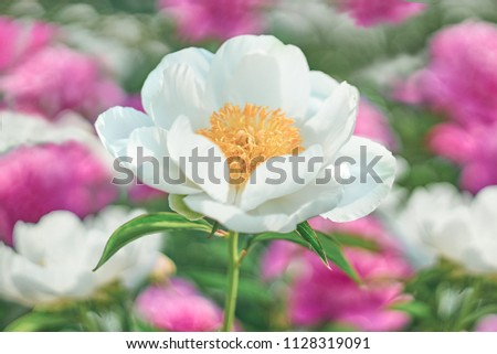 White Flower peony flowering on background pink and white flowers. #1128319091