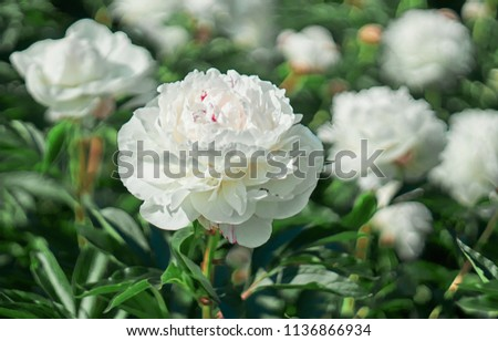 White flower peony flowering on background white peonies flowers. Nature.           #1136866934