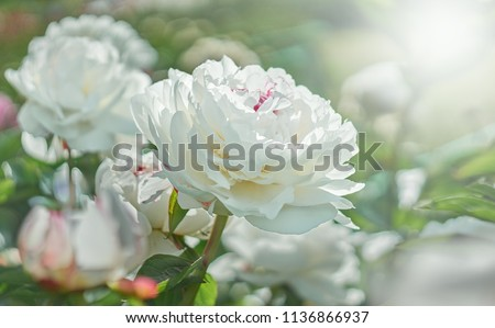White flower peony flowering on background white peonies flowers. Nature.           #1136866937