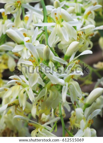 White flower used for background moringa is a medicinal plant as white flower used for background moringa is a medicinal plant as both vegetable and mightylinksfo