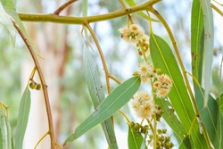 White flower with green bud seed and leaves of eucalyptus tree on branch close-up.