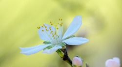 White flower with yellow stamens covered with dew drops on green background
