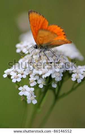 White flowering - Achillea millefolium or yarrow with red butterfly