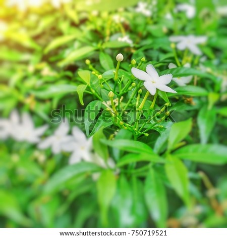 White flowering shrubs shown blooming and flower buds with green white flowering shrubs shown blooming and flower buds with green leaves scientific name mightylinksfo