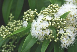 White flowers and buds of the Australian native Lemon Myrtle, Backhousia citriodora, family Myrtaceae. Endemic to coastal rainforest of New South Wales and Queensland. Lemon scented aromatic foliage