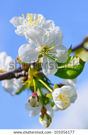 White flowers and green leaves on a blossoming cherry-tree against a blue sky.