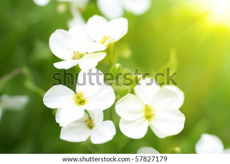 White flowers and sun on the green soft background