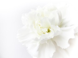 White flowers background. Macro of white petals texture. Soft dreamy image