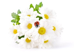 White flowers, field camomiles with ladybug on a white background