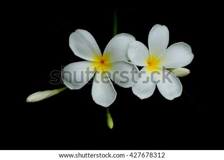 Free photos white flowers flowers flowers champa laos petals 5 white flowers flowers flowers champa laos petals 5 petals fragrant flowers mightylinksfo