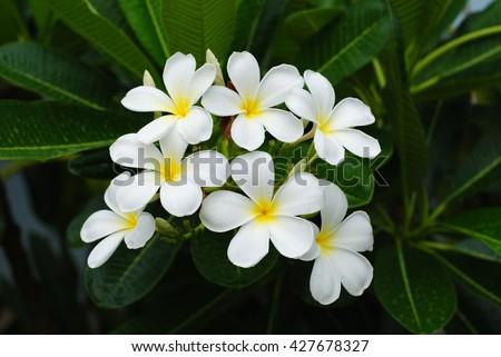 Free photos beautiful five petal flower avopix white flowers flowers flowers champa laos petals 5 petals fragrant flowers mightylinksfo