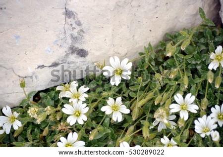 Free photos white mountain flower among the rocks avopix white flowers growing among the rocks 530289022 mightylinksfo