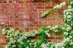 White flowers growing on the red brick wall