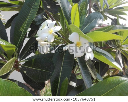Free photos white flower with good smell avopix white flowers in thailand call jumpar the name of these smell good 1057648751 mightylinksfo