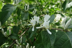 White flowers in the leafage of Amur honeysuckle in mid May